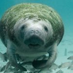 Manatee Magic